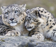 Snow Leopard Expedition4