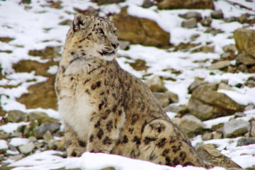 Snow Leopard Expedition3